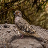 Tortolita boliviana | Metriopelia ceciliae | Bare-faced Ground Dove