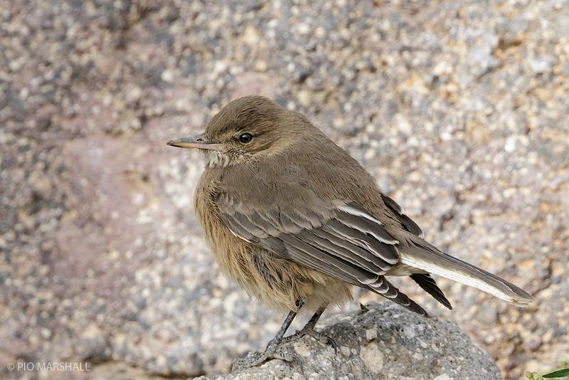 Mero de la puna |  Agriornis albicauda  |  White-tailed Shrike-Tyrant