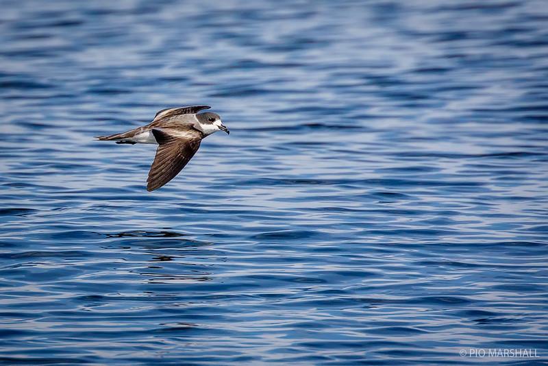 Golondrina de mar de collar   Oceanodroma hornbyi   Ringed Storm-Petrel
