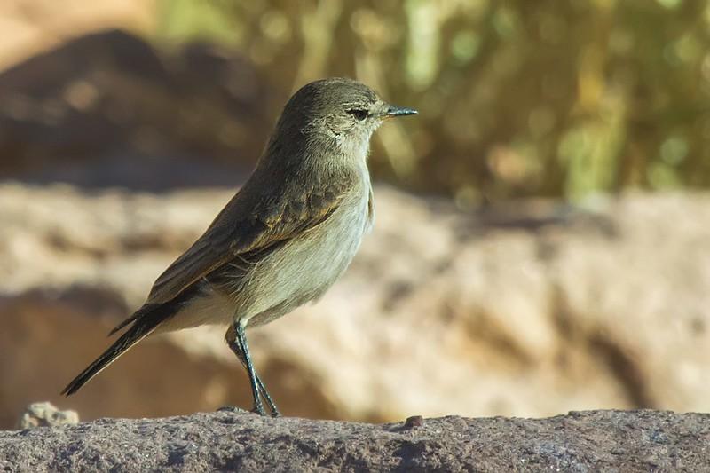 Dormilona chica |  Muscisaxicola maculirostris  |  Spot-billed Ground-Tyrant