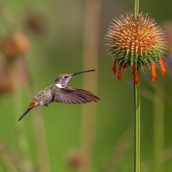 Picaflor del norte   Rhodopis vesper   Oasis Hummingbird