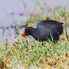 Tagüita del norte |  Gallinula galeata  |  Common Gallinule