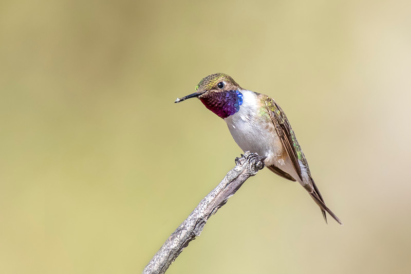 Picaflor de Arica | Eulidia yarrellii | Chilean Woodstar