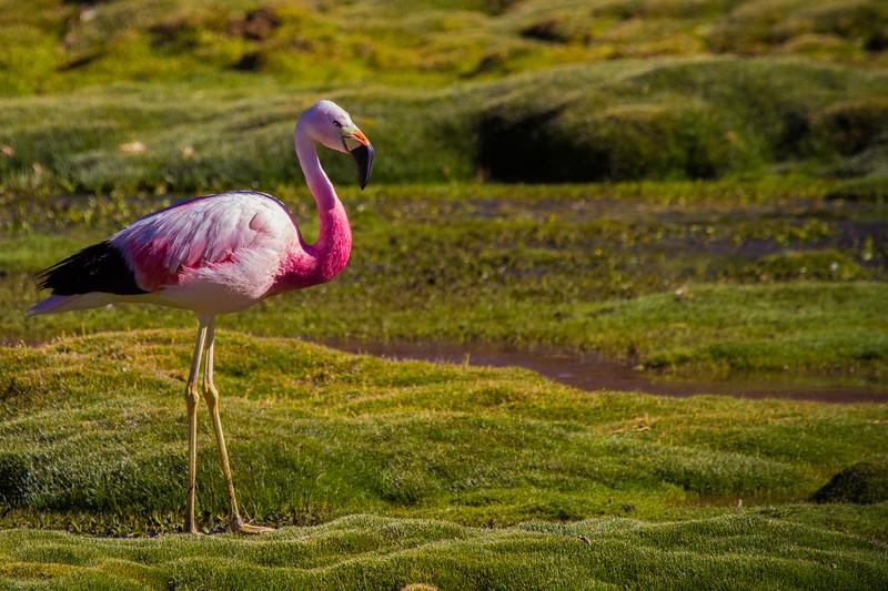 Parina grande | Phoenicoparrus andinus | Andean Flamingo