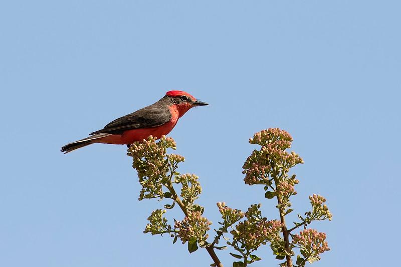 Saca-tu-real   Pyrocephalus rubinus   Vermilion Flycatcher