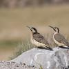 Pitío del norte | Colaptes rupicola | Andean Flicker