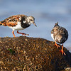 Playero vuelvepiedras |  Arenaria interpres  |  Ruddy Turnstone