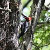 Carpintero negro | Campephilus magellanicus | Magellanic Woodpecker