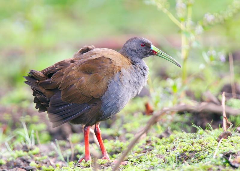 Pidén común | Pardirallus sanguinolentus | Plumbeous Rail