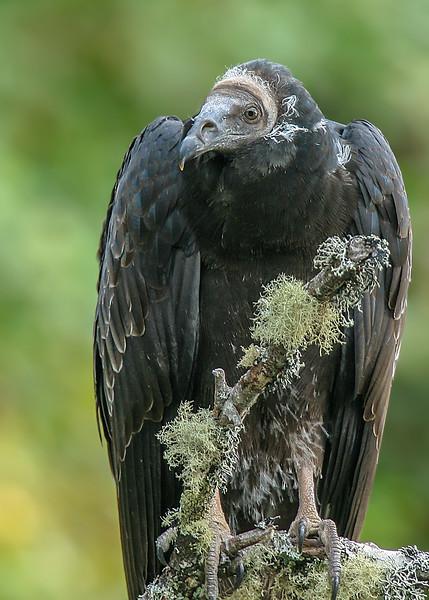 Jote de cabeza colorada | Cathartes aura | Turkey Vulture