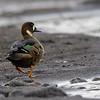 Pato anteojillo |  Speculanas specularis  |  Spectacled Duck