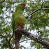 Choroy | Enicognathus leptorhynchus | Slender-billed Parakeet