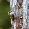 Rayadito |  Aphrastura spinicauda  |  Thorn-tailed Rayadito