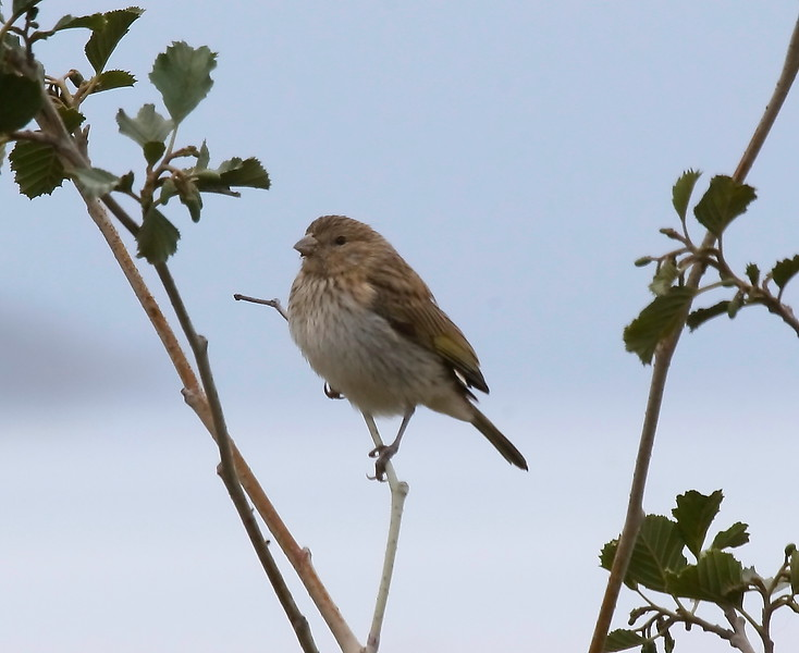 Chirihue azafrán    Sicalis flaveola     Saffron Finch