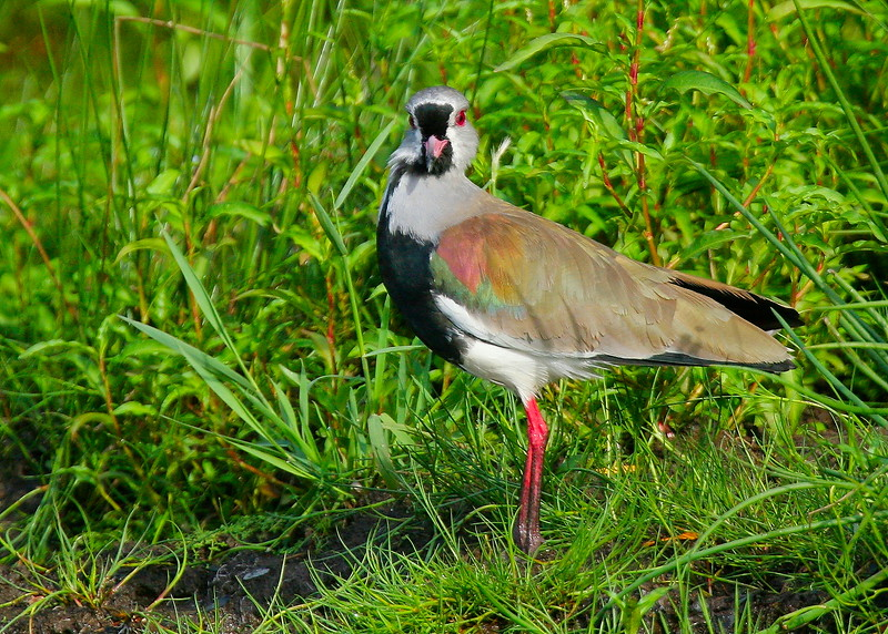 Queltehue común   Vanellus chilensis   Southern Lapwing