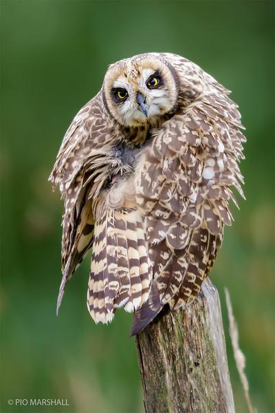 Nuco | Asio flammeus | Short-eared Owl