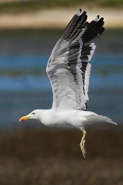 Gaviota dominicana   Larus dominicanus   Kelp Gull