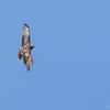 Aguilucho de cola rojiza |  Buteo ventralis  |  Rufous-tailed Hawk