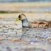 Tagüita común |  Porphyriops melanops  |  Spot-flanked Gallinule