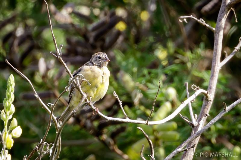 Chirihue común    Sicalis luteola     Grassland Yellow-Finch
