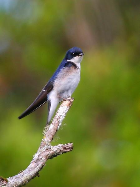 Golondrina chilena    Tachycineta leucopyga     Chilean Swallow
