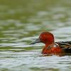 Pato colorado | Spatula cyanoptera | Cinnamon Teal