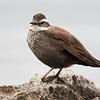 Churrete patagónico |  Cinclodes patagonicus  |  Dark-bellied