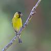 Jilguero austral |  Spinus barbatus  |  Black-chinned Siskin