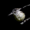 Cachudito común | Anairetes parulus | Tufted Tit-Tyrant