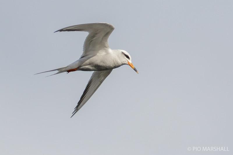 Gaviotín piquerito   Sterna trudeaui   Snowy-crowned Tern