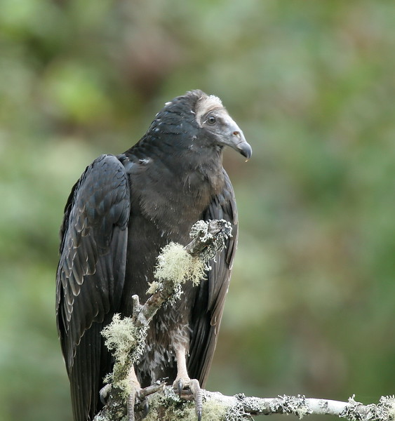 Jote de cabeza colorada   Cathartes aura   Turkey Vulture