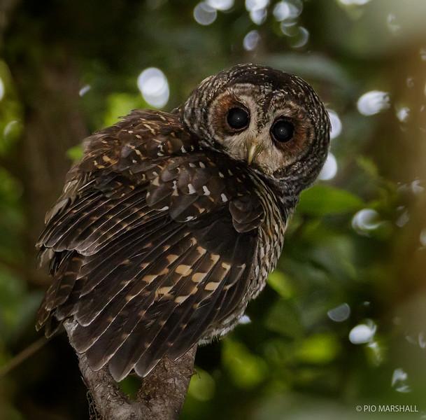 Concón   Strix rufipes   Rufous-legged Owl