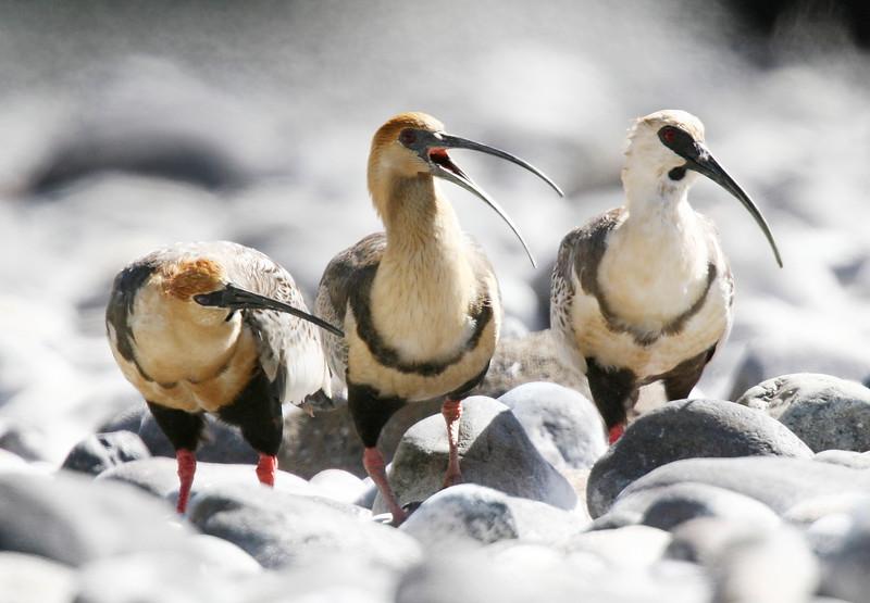 Bandurria/Bandurria de la puna   Theristicus melanopis   Black-faced Ibis