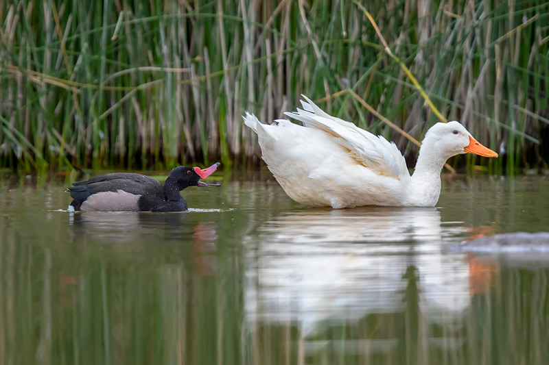 Pato negro |  Netta peposaca  |  Rosy-billed Pochard