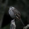 Churrete patagónico | Cinclodes patagonicus | Dark-bellied Cinclodes