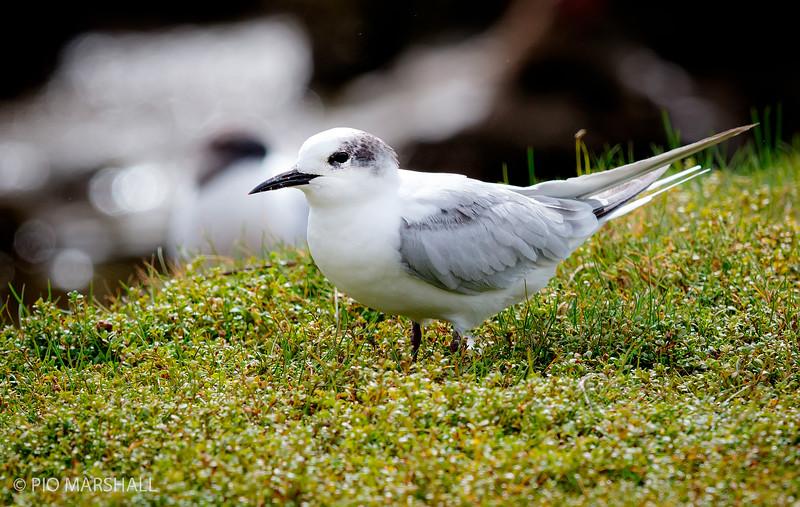 Gaviotín sudamericano    Sterna hirundinacea     South American Tern