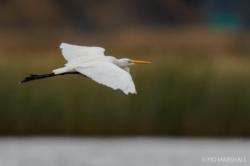 Garza grande    Ardea alba     Great Egret