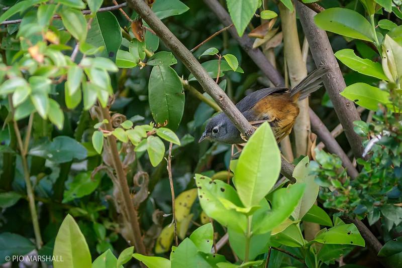 Churrín de la Mocha | Eugralla paradoxa | Ochre-flanked Tapaculo
