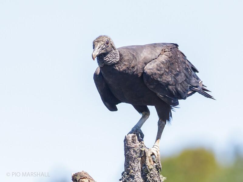 Jote de cabeza negra |  Coragyps atratus  |  Black Vulture