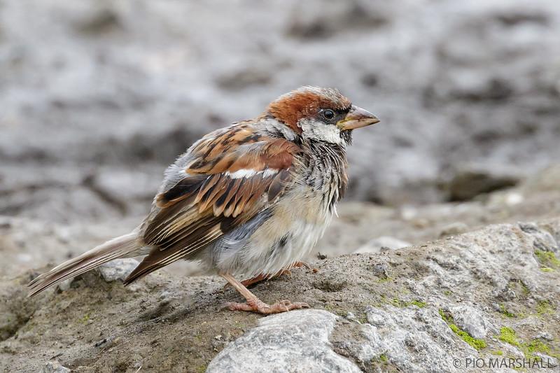 Gorrión   Passer domesticus   House Sparrow