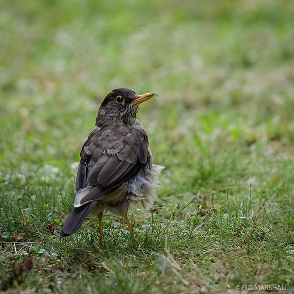 Zorzal patagónico    Turdus falcklandii     Austral Thrush