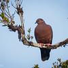 Torcaza |  Patagioenas araucana  |  Chilean Pigeon
