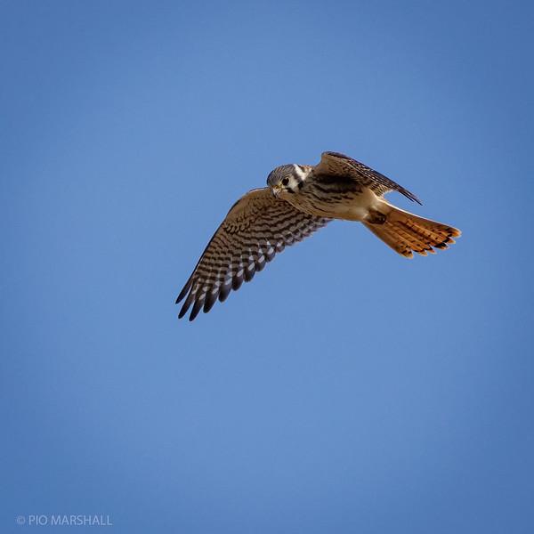 Cernícalo    Falco sparverius     American Kestrel