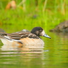 Pato real |  Mareca sibilatrix  |  Chiloe Wigeon