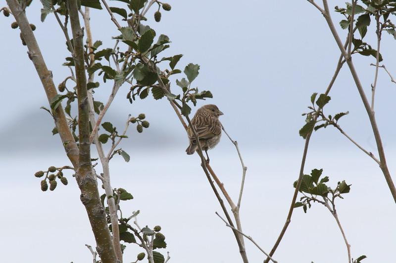 Chirihue azafrán |  Sicalis flaveola  |  Saffron Finch