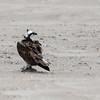 Águila pescadora    Pandion haliaetus     Osprey