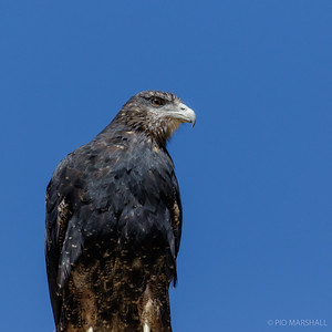 Águila | Geranoaetus melanoleucus | Black-chested Buzzard-Eagle