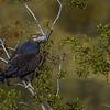 Águila | Geranoaetus melanoleucus | Black-chested Buzzard-Eagle