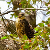 Aguilucho chico |  Buteo albigula  |  White-throated Hawk