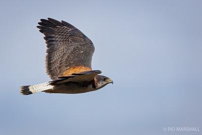 Aguilucho común    Geranoaetus polyosoma     Variable Hawk